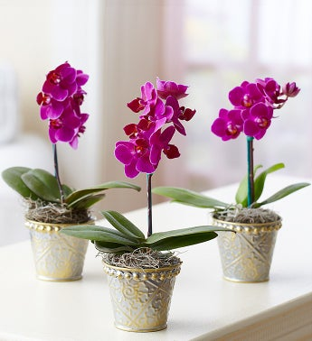 Mini Purple Phalaenopsis Orchid in Tin