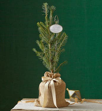 Colorado Blue Spruce Tree for Sympathy