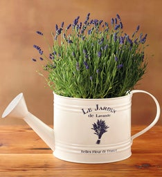 Lavender Watering Can