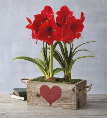 Valentine39s Day Red Lion Amaryllis Double